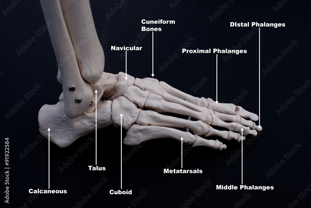 Bones Of The Foot Lateral View Labelled Foto Poster Wandbilder