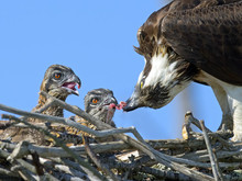 Adult Osprey Feeding Chicks
