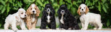 Five American Cocker Spaniel P...