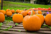Pumpkins On Pallets