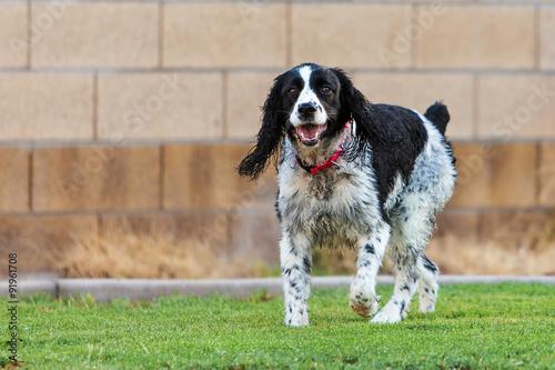 Deurstickers Franse bulldog English Springer Spaniel Dog Playing in Yard
