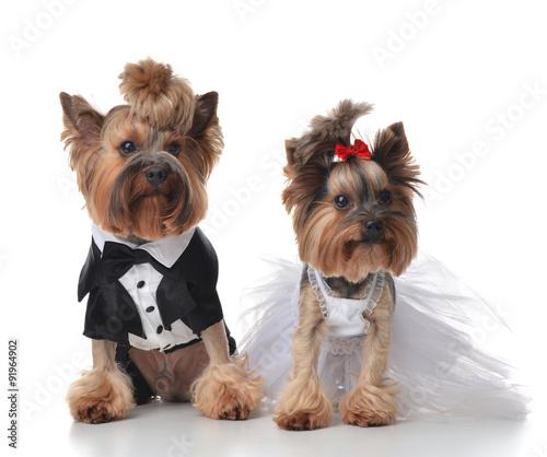 yorkshire-terrier-przebrany-na-slub-jak-pan-i-pani-mloda