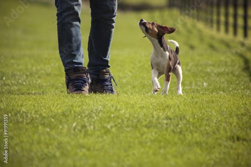 Poster Chien Walking Beagle dog puppy