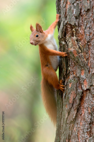 Cuadros en Lienzo  Red Squirrel
