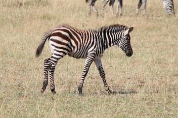 Fototapeta na wymiar zebra piccola