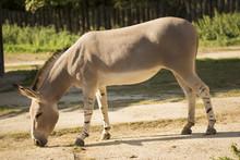 Rare Somali Wild Ass, Equus Africanus Somaliensis