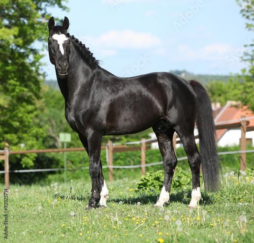 Beautiful kwpn stallion on pasturage Canvas Print