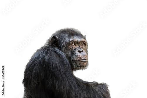 Obraz na plátne Chimp isolated on white background