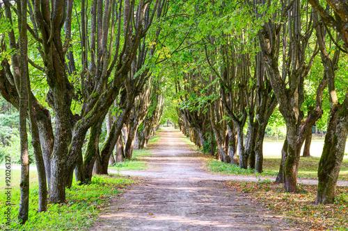 Foto op Canvas Weg in bos Walking alley between green trees.