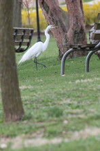 Walking Egret