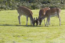 Trio Of Fallow Deer