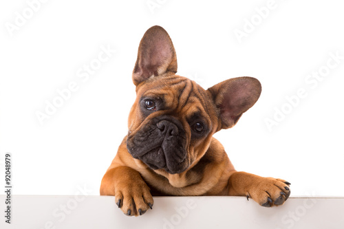 French Bulldog puppy Wallpaper Mural