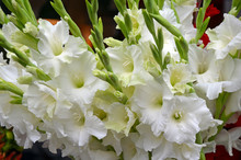 White Gladiola Flowers Floral ...