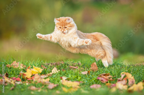 Fototapety, obrazy: Funny cat playing outdoors in autumn