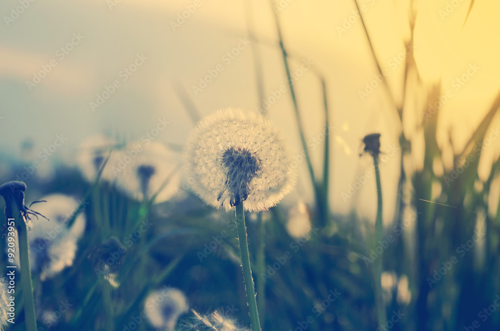 Fototapety, obrazy: Field of dandelions in soft light, autumn nature scene