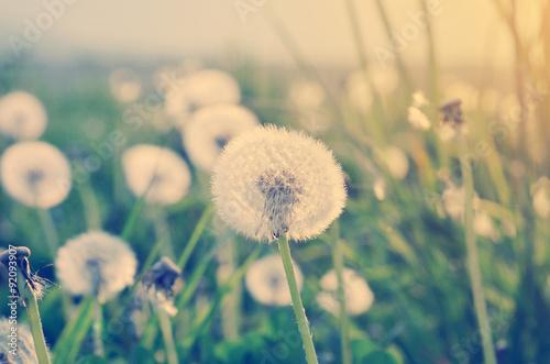 Valokuva  Field of dandelions in soft light, autumn nature scene