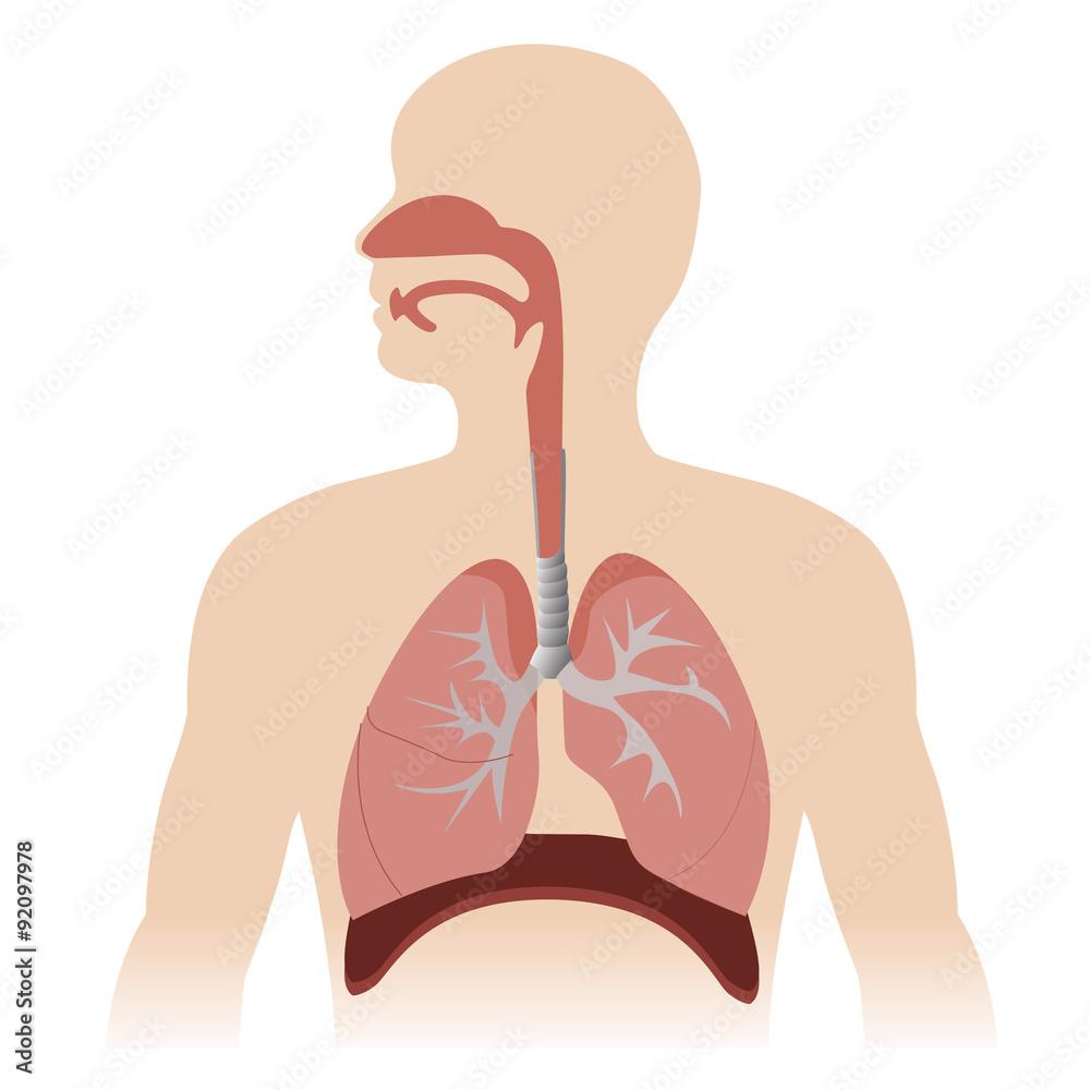 Fototapeta human respiratory system anatomy. vector format illustration.