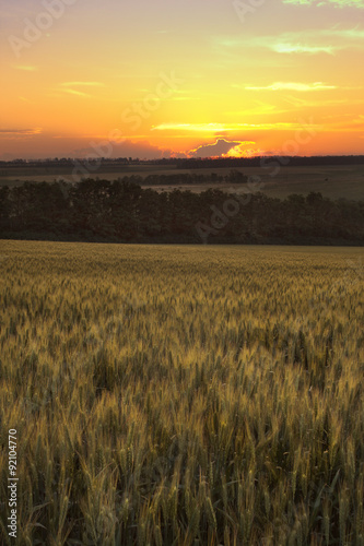 Foto auf Gartenposter Landschappen ripen wheat field in the last rays of the sun