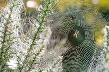 Morning Dew Spider Web Closeup