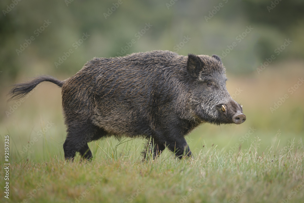 Fototapeta Male wild boar in autumn