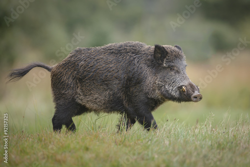 Fototapeta Male wild boar in autumn obraz