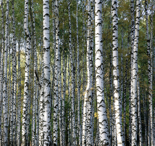 Autumn trunks birch trees Canvas
