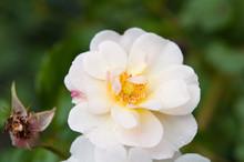 Rosen Im Garten, Weiß Und Zart