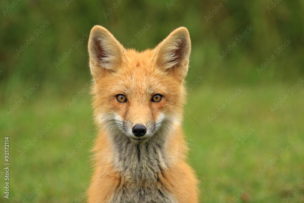 Fototapety, obrazy: Red Fox Kit Head Portrait, PEI, Canada