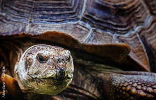 Foto op Plexiglas Krokodil African Spurred Tortoise