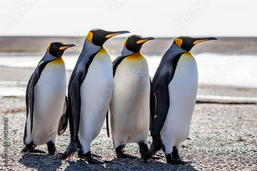 Deurstickers Pinguin Four King Penguins (Aptenodytes patagonicus) standing together o