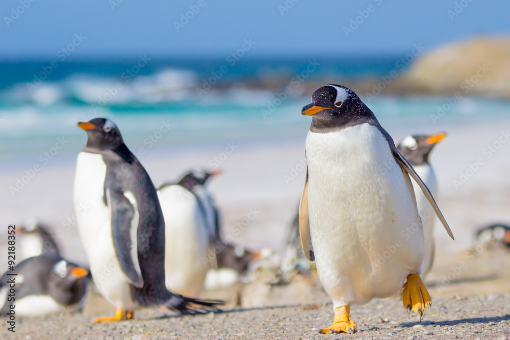 Gentoo Penguins, Volunteer Point, Falkland Islands.