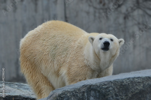 Poster Polar bear Neugieriger Eisbär