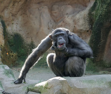 Chimpanzee Scratching Its Chin...