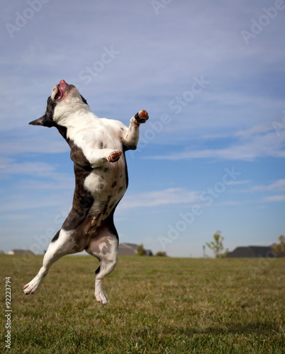 Deurstickers Franse bulldog Leaping French bulldog in mid air with tongue out