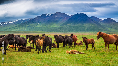 Herd of horses in the mountains in Iceland