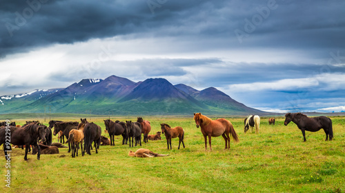 Cuadros en Lienzo Horses in the mountains in Iceland