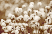 Blooming Cotton Grass. Toning In Sepia.