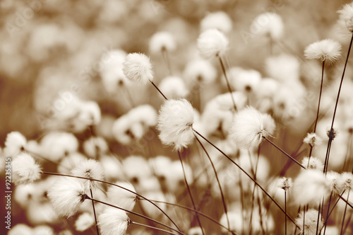 Fotografía  Blooming cotton grass. Toning in sepia.