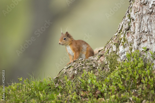 Aluminium Prints Squirrel Red Squirrel Sat At The bottom Of A Pine Tree.