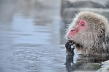Fototapeta 温泉に入るニホンザル