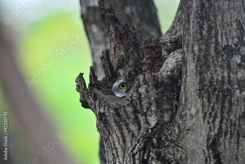 Valokuva  Owl peek in the hole.