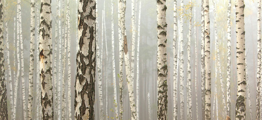 Fototapeta Grove of birch trees and dry grass in early autumn, fall panorama