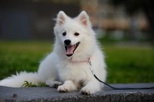 One Little Cute Japanese Spitz Puppy Sit On Grass With Smile Face