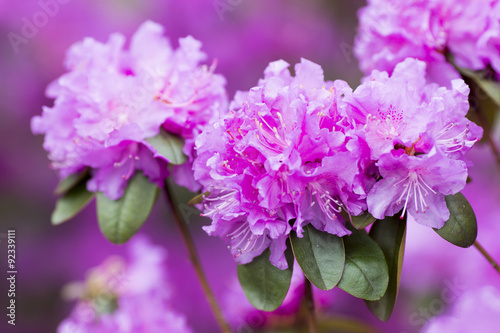 Tuinposter Azalea Rhododendron bloom in spring. Beautiful picture.