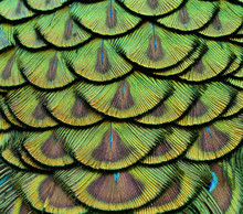 Close Up Of Green Peacock Feathers For Texture And Design