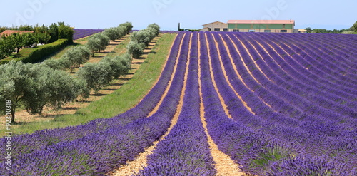 Poster Lavendel champ de lavandin et amandiers