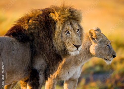 Fotobehang Leeuw Lion and lioness in the savannah. Zambia.