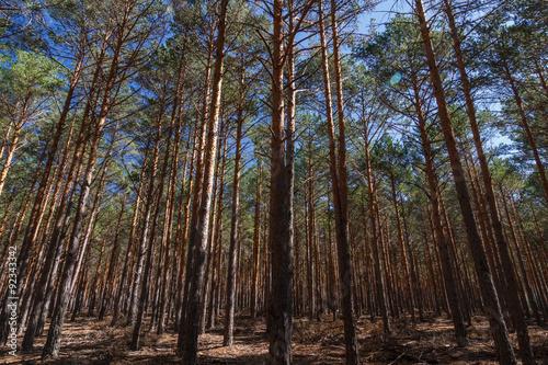 Pinus Sylvestris Bosque De Pino Silvestre Albar Sierra De La