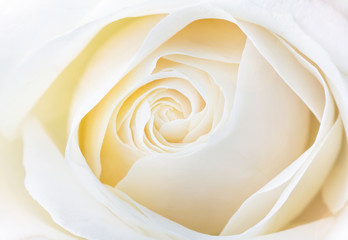 Fototapeta Róże beautiful white rose