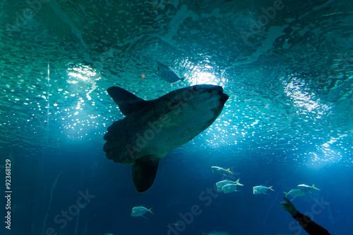Deep-sea fish Mola-Mola, moon fish i